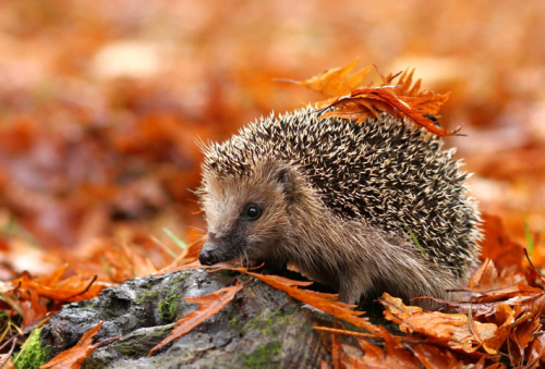 Hedgehog_autumn2